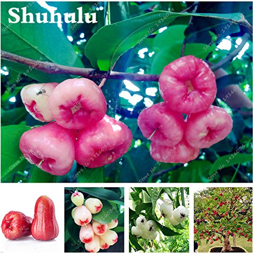 Rare Fruit Wax Seed Organic Non-GMO Bonsai Tree Perennial Outdoor Shrub Seed For Garden Orchard Blooming Plants 30 Pcs