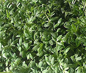 Amazon.com: CRESS Lepidium Sativum - Peppergrass rizado, 200 ...