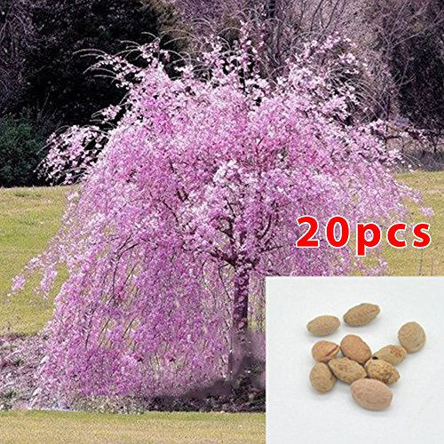 e Seeds 20pcs Cherry Blossom tree Seeds Flower Plants Seeds ()
