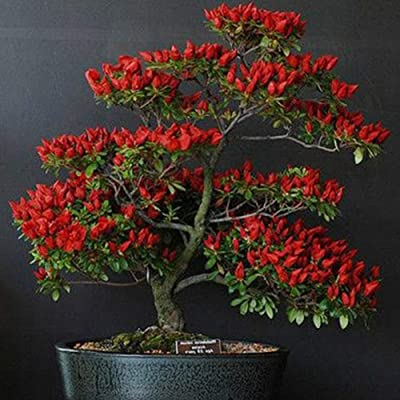 Mggsndi 100Pcs Red Trinidad Moruga Scorpion Chilli Pepper Seeds Bonsai Vegetable Plants - Heirloom Non GMO - Seeds for Planting an Indoor and Outdoor Garden Red Chili Seeds 100pcs : Garden & Outdoor
