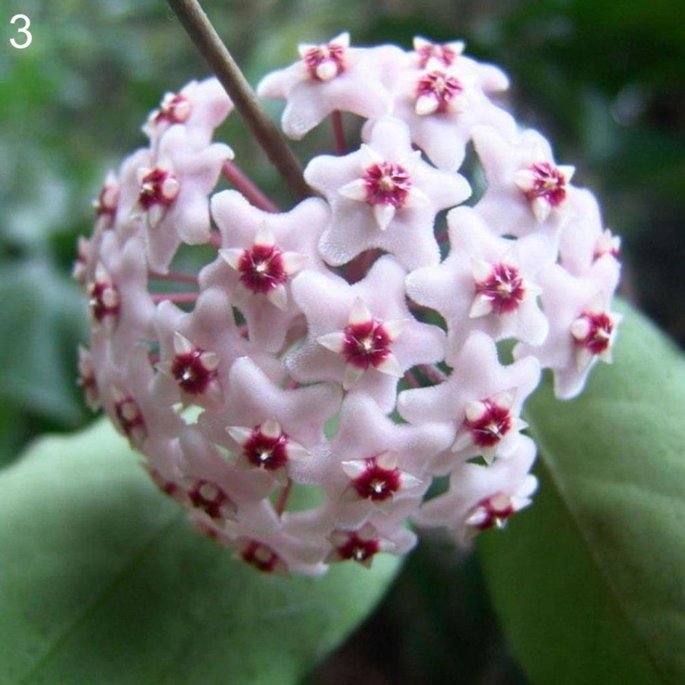 FOReverweihuajz 300Pcs Farbe Hoya Seeds Ball Orchidee Hauspflanze Samen Garten Balkon Dekor