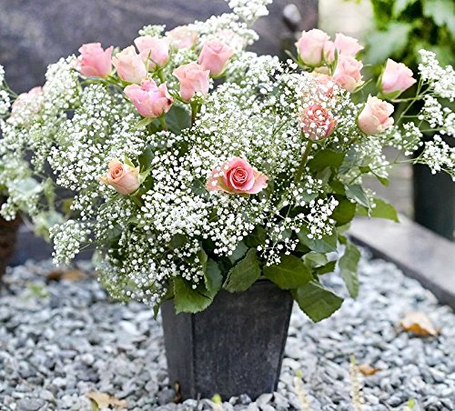 300-babys-breath-flower-seeds-white-annual-gypsophila-elegans-decorative-honey-fragrant-from-usa