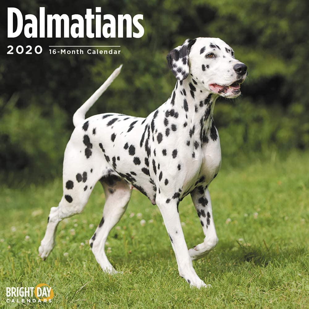 2020 Dalmations Wall Calendar by Bright Day, 16 Month 12 x 12 Inch, Cute Dogs Puppy Animals Canine