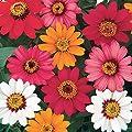 Burpee Pinwheel Mix Zinnia Seeds 150 seeds