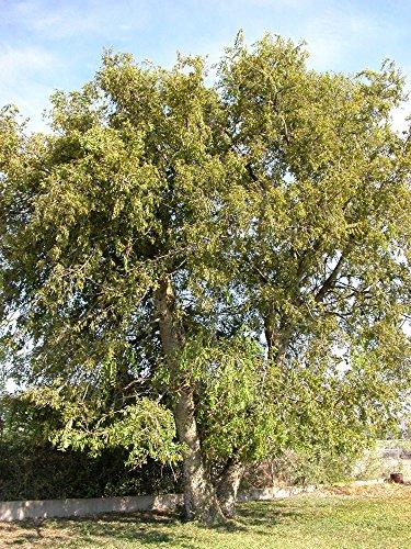 50 Southern Hackberry Tree Seeds, Celtis Laevigata