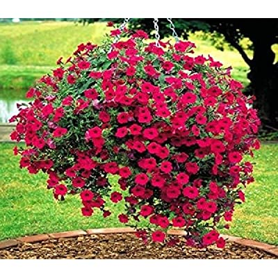 """Red Petunia """"Fire chief ( 500 Seeds) Flower in hanging baskets, containers. : Garden & Outdoor"""