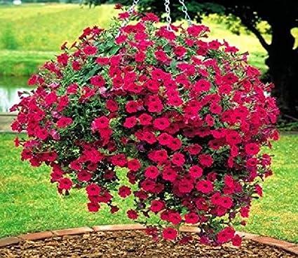 Red Hanging Petunia Flower Bonsai Seed Beautiful Garden Flower Plant Seed 100Pcs
