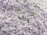 Creeping Thyme (2000 thru 5LB seeds) Rock Cress Flower Herb Garden #24 (3.2 Million seeds, or 1 LB)