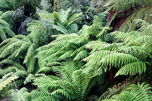FERN PLANT ( 3 Live Plant/root) Shade Loving Plant,Low growing ,Zone 4 - 8