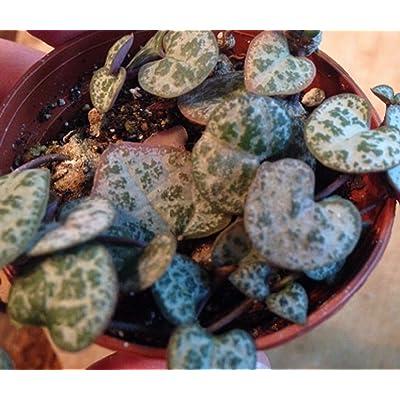 "Ceropegia-Woodii Rosary Vine Plant String of Hearts 2"" Pot Gardening tkgress : Garden & Outdoor"