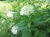 HYDRANGEA PANICULATA 'PHANTOM' -PLANT - APPROX 3-4 INCH -DORMANT
