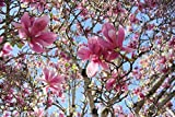 Hot Sale! 5 Saucer Magnolia Tree (Magnolia soulangeana), Seeds