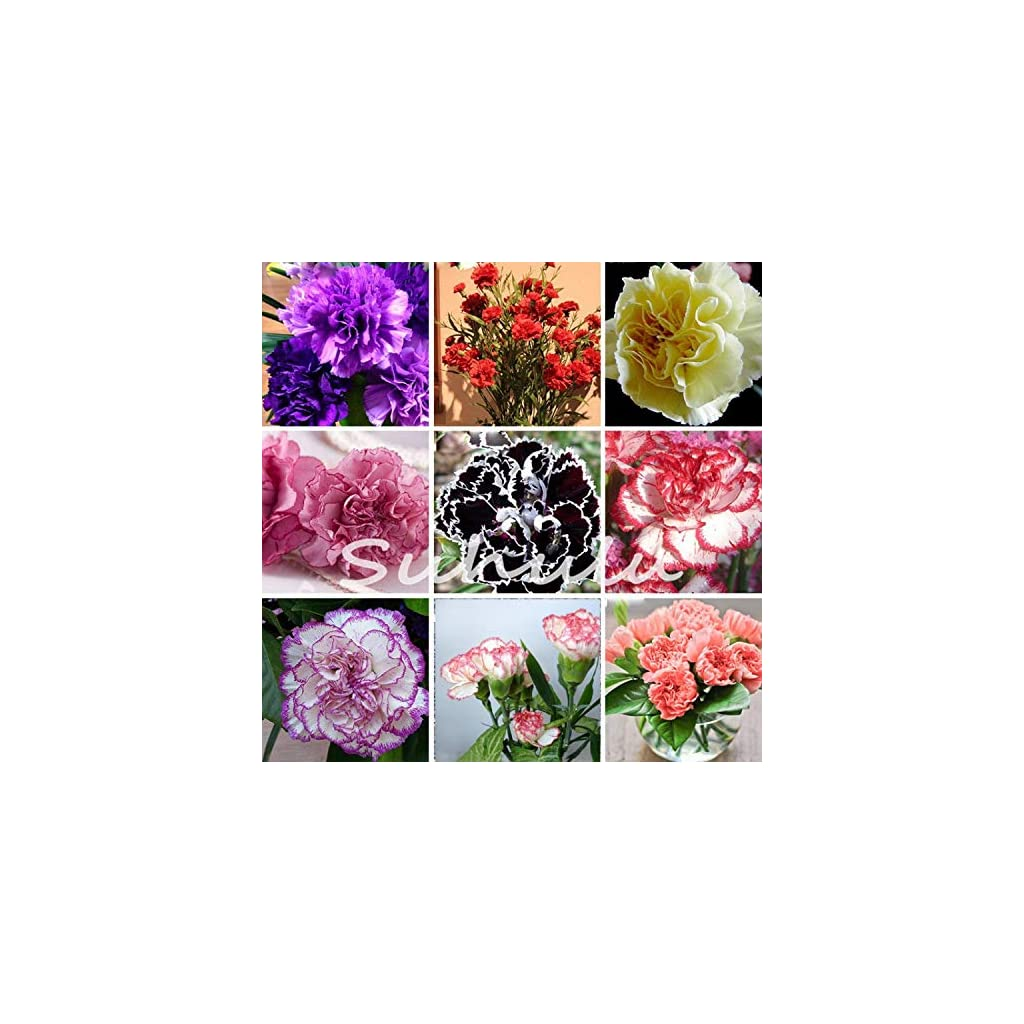 Shoopy-Star-African-Violet-Plant-Lyons-Lavender-Magic