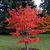 (3 gallon) Osakazuki Japanese Maple An excellent small tree, gracefully branched stems, lovely, deeply lobed, bright green leaves that emerge orange in spring, turns a crimson red in the fall