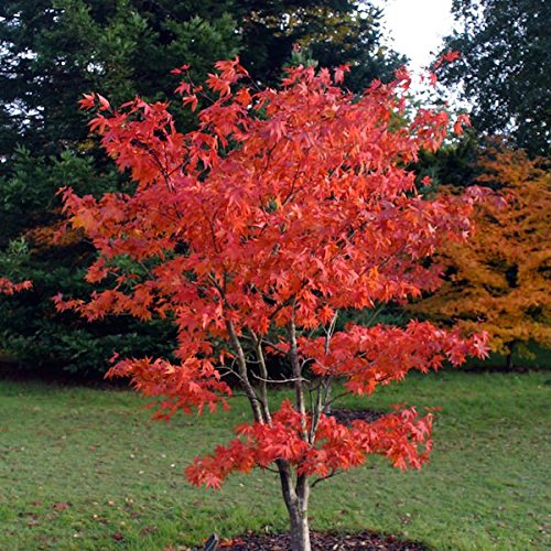 (3 gallon) Osakazuki Japanese Maple An excellent small tree, gracefully branched stems, lovely, deeply lobed, bright green leaves that emerge orange in spring, turns a crimson red in the -