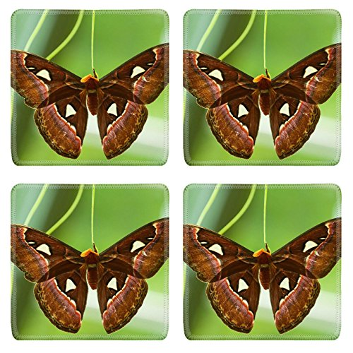 Luxlady Square Coasters Non-Slip Natural Rubber Desk Coasters Atlas Moth Attacus atlas hatched from cocoon and drying it s wings IMAGE ID (Attacus Atlas)