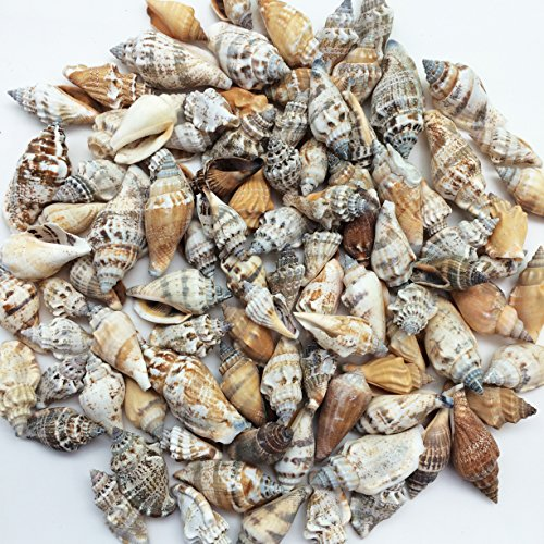 PEPPERLONELY Brown Chulla Strombus conch Sea Shells , 8 OZ Approx. 100+PC Shells, 1-1/4 Inch ~ 2 Inch (Shell Strombus)