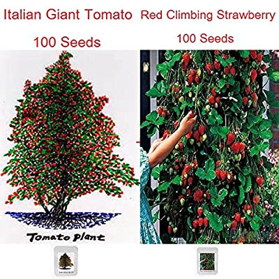 ADB Inc Italian Giant Tomato Tree Seeds 100+ & Red Climbing Strawberry Seeds 100+, 2 Professional Packs, 100 Seeds / Pack, Super Value : Garden & Outdoor