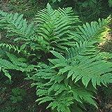 Marginal Wood Fern ...... 200 Spores