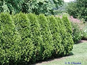 American Arborvitae, Thuja occidentalis, Tree 150 Seeds (Evergreen Hedge)