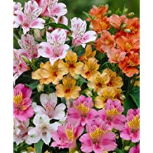 Alstroemeria Mixed 3 Bulbs Pretty Peruvian Lily Sweet Lilium of the Incas