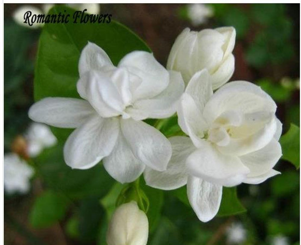 Mrflowerwhite jasmine seeds fragrant plant arabian jasmine flower mrflowerwhite jasmine seeds fragrant plant arabian jasmine flower seed 20 particlebag amazon garden outdoors izmirmasajfo