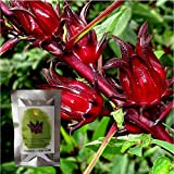 Organic Hibiscus sabdariffa-Roselle Seeds: Non-GMO, 250+ Seeds Packet, Red Big flower by Golden Seed