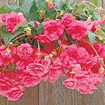 Amazon 1 begonia hanging basket bulb pink color flower summer 1 begonia hanging basket bulb pink color flower summer blooming mightylinksfo