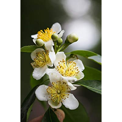 Camphor Tree Cinnamomum Camphora 20 Seeds – Gardening - tksap : Garden & Outdoor