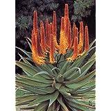 TROPICA - Fire - Aloe (Aloe ferox) - 20 Seeds - Cacti / Succulents