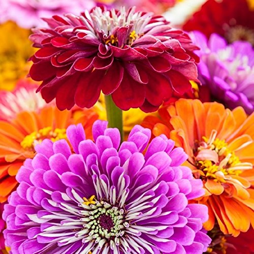 (Zinnia Seeds - California Giants Mix - Heirloom Flower by Hill Creek Seeds)