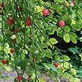 25 Seeds - Huckleberry Bush Red Seeds (Vaccinium parvifolium)