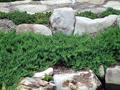 Juniper Blue Pacific Qty 60 Live Plants Evergreen Ground Cover 'Shore Juniper' by Florida Foliage (Image #5)