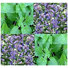 4 Packs x 1,000 Catnip seeds - CAT KITTY KITTENS TREAT - THEY LOVE THEM - Cat Candy - CAN BE BREWED INTO TEA - Only 70 - 75 Days - By MySeeds.Co