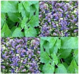 Catnip seeds - CAT KITTY KITTENS TREAT - THEY LOVE THEM - Cat Candy - CAN BE BREWED INTO TEA - Only 70 - 75 Days - By MySeeds.Co (224000 Seeds - 4 oz)