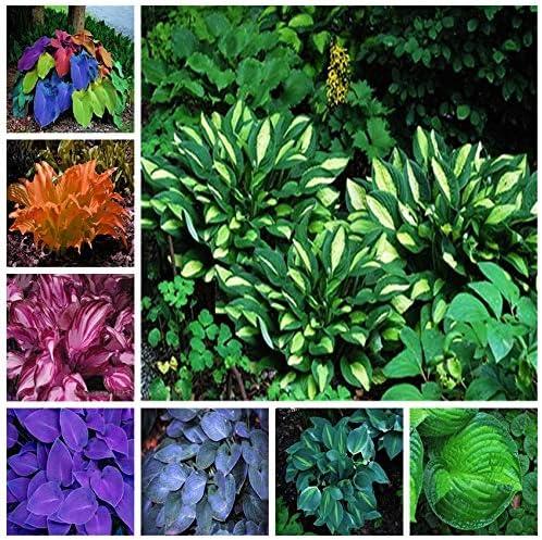 Bloom Green Co. Hosta exótica Planta Cuatro Estaciones Flor Perenne Plátano Mezclado Lirio Flor Cubierta de tierra Flor JardÃn Suministros Crecimiento rápido 200pcs: 23: Amazon.es: Jardín
