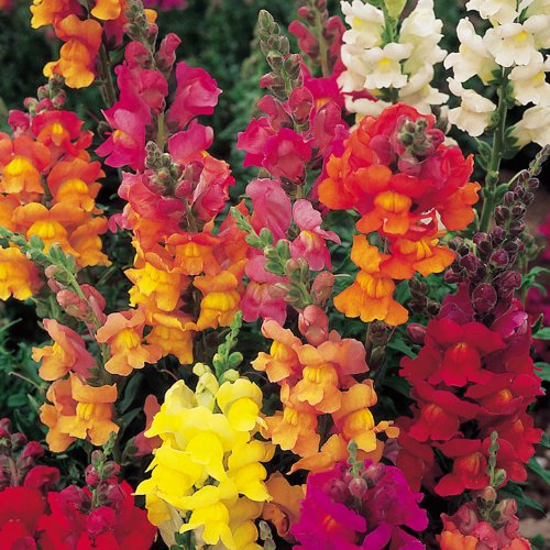 SNAPDRAGON ~Dwarf Mix~