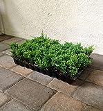 Blue Rug Juniper Qty 10 Live 2'' Plants Evergreen Groundcover