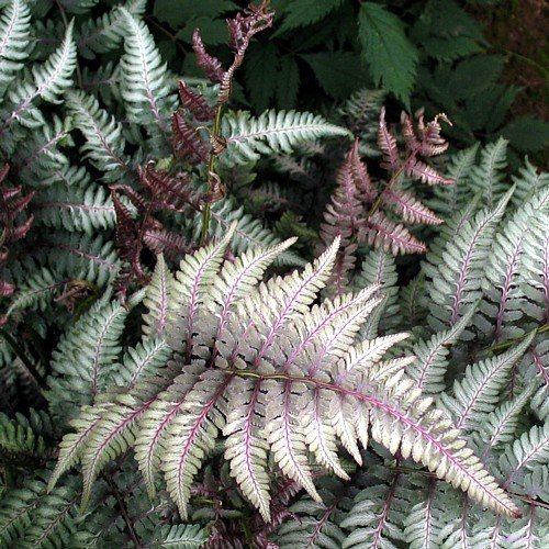 Japanese Painted Fern - Athyrium - Shade Lover - Hardy - Quart ()