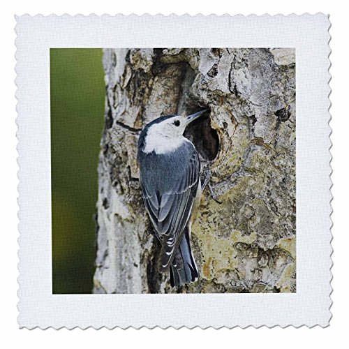 (3dRose qs_84638_5 White-Breasted Nuthatch Bird, Rocky Mountain NP - NA02 RNU0825 - Rolf Nussbaumer - Quilt Square, 14 by 14-Inch)