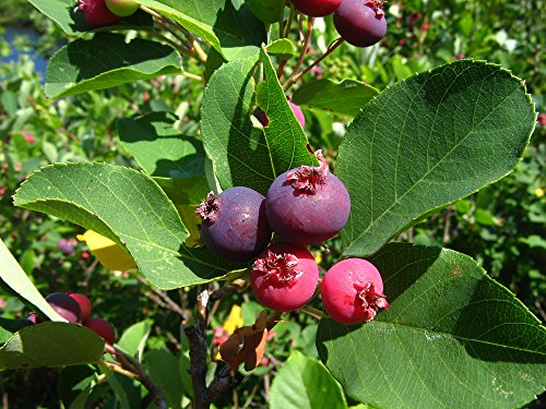 shadblow serviceberry