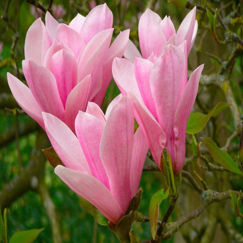 Magnolia soulangeana Heaven Scent - 1 shrub Gardens4you