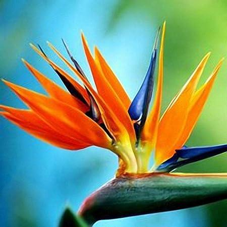 Fiori Uccelli Del Paradiso.Semirosa 50pz Semi Di Strelitzia Colorata Sementi Di Uccello Del