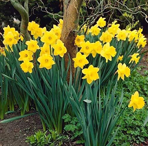 Dutch Master Trumpet Daffodil 1-Bulb Hardy Perennial Flowers