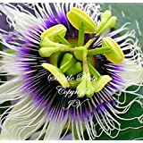 Passiflora edulis var flavicarpa Yellow Passion Fruit Flower Seeds