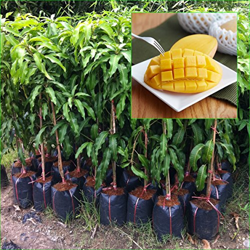 1 GRAFTED Mango Tree plant Nam-Dok-Mai Si Thong 18'' Tall Thai Golden Mango Fruit Juicy Direct from Thailand Free Phytosanitary Cert. by Nature8 Farm