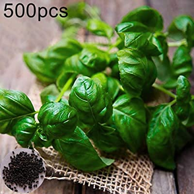 wpOP59NE 500Pcs Sweet Basil Seeds Non-GMO Large Leaf Herb Cooking Spice Home Garden Plant - Basil Seeds Plant Seeds : Garden & Outdoor