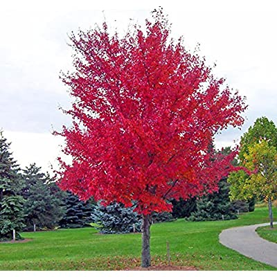 30 SEEDS/PACK JAPANESE RED MAPLE TREE WITH HERMETIC PACKAGE VERY BEAUTIFUL JAPAN MAPLE NEW SEEDS : Garden & Outdoor