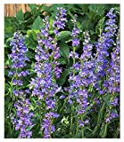 3000 Rocky Mountain Penstemmon Seeds - Tall Blue