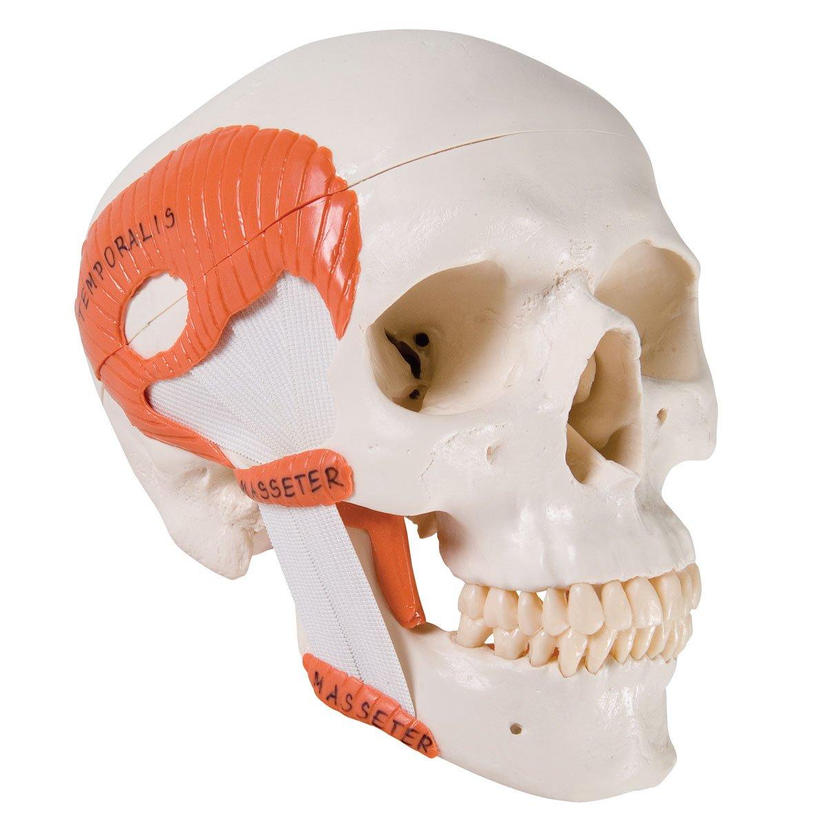 3B Scientific A24 Plastic 2 Part TMJ Human Skull Model, Demonstrates Functions of Masticator Muscles